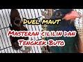 Pasti Juara Masteran Cililin Gacor Dan Tengkek Buto Ngeroll Panjang Asli Jernih  Mp3 - Mp4 Download