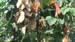 Συμπτώματα από Βακτηριακό Κάψιμο (Erwinia amylovora) σε δένδρα κυδωνιάς