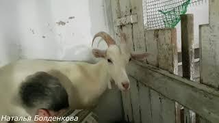 Дойка коз.Козовник.Содержание коз.У Нади в Тавде.