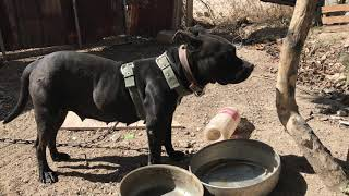 😱😳 Cuánto Come un Perro Pitbull Croquetas Campidog