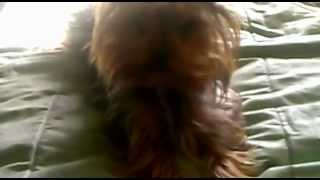 Yorkshire Terrier.trick#1 Español