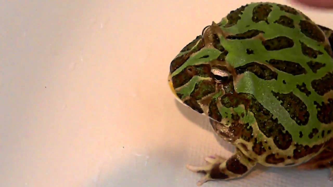 Pacman frog SCREAMS in the bathtub!!!!! - YouTube