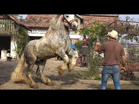Caii lui Gheza de la Tinca, Bihor - 2020 Nou!!!