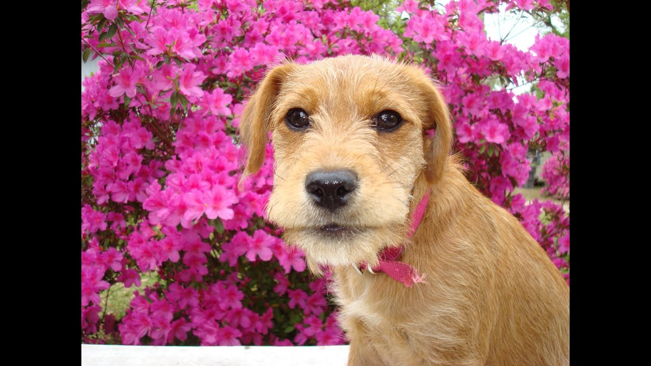 Candy The Miniature Irish Wolfhound As