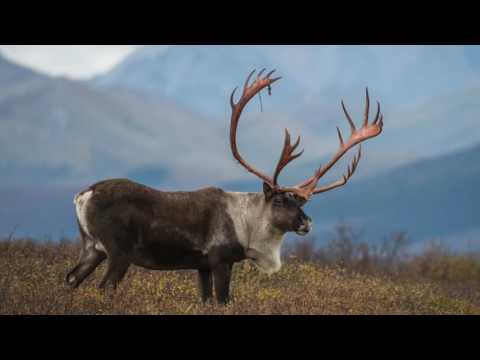 Caribou on the Move