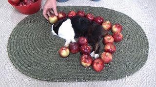 Waking a sleeping rabbit by surrounding him with apples