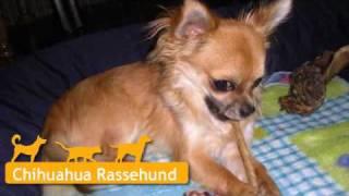 Chihuahua In Perleberg