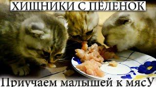 Британские котята первый раз в своей жизни кушают мясо