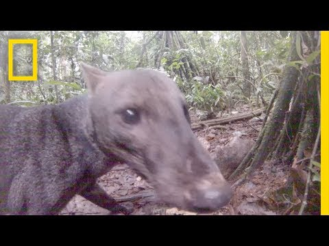 Thumbnail: See an Extremely Rare Jungle Dog | National Geographic