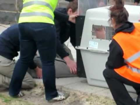 Seal rescue on Beaconsfield Parade in Melbourne, Australia