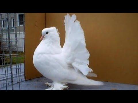 Fancy pigeon farm | top 10 fancy pigeon | best fancy pigeon breeds | kabootar ki video