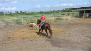 Mr Joe Im Kool Learning To Track And Work Cattle