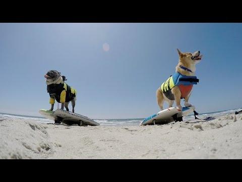 Brandy Surfing With SuperCorgi JoJo   Brandy The Pug