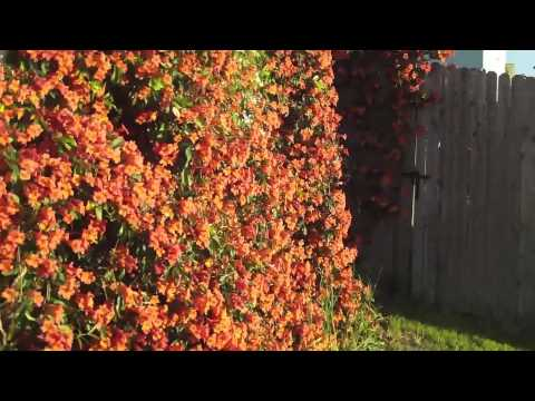Trumpet Vines April 2010 Youtube