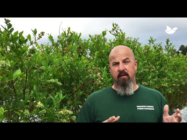 Testimonial: American blueberry farmer increases revenue by 33% with lasers