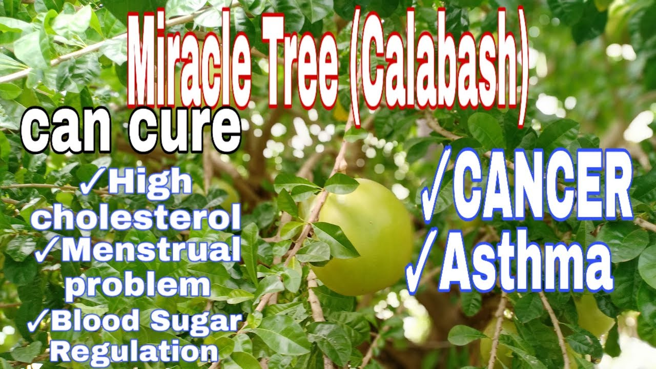 benefits of miracle tree (calabash)