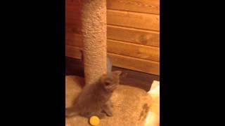 котята играют, смешные котята, британские котята, купить котенка, красивые котята