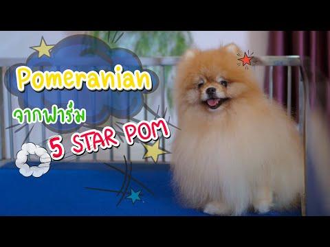 Show Pet   ปอมเมอเรเนียน : 5 Star Pom