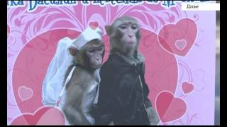 Свадьба барнаульских макак: невеста приехала из Москвы