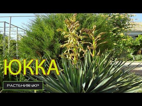 Юкка уход и полив в домашних условиях / Yucca care and watering at home