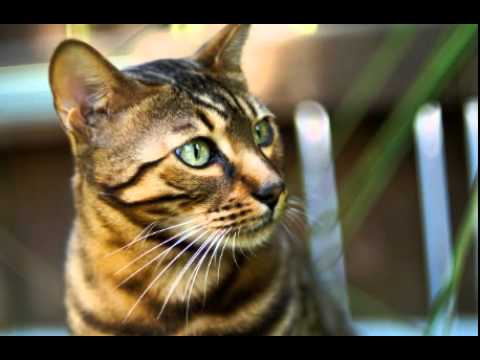 Bengal Cat Facts - Facts About Bengal Cats