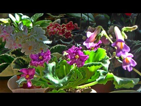 мои цветы в мае - цветение фиалок, пеларгоний, хирит