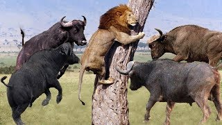 LIVE: Discovery Wild Animals - Moments Lion Are Defeated By Buffalo - Wild Animal Documentary 2019