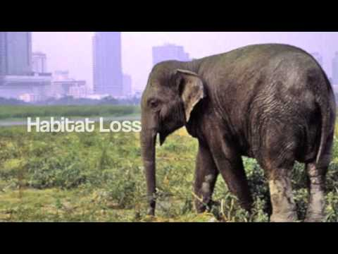 endangered asian elephants This feature is not available right now please try again later.