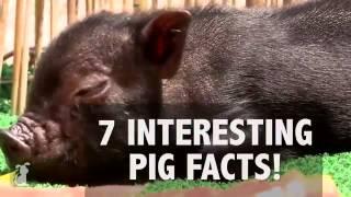 Fakta Babi   PETS & ANIMALS on Vidio