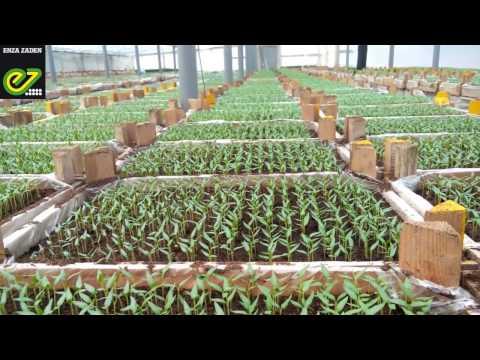 Опыт выращивания перцев от компании Энза Заден в Астрахини