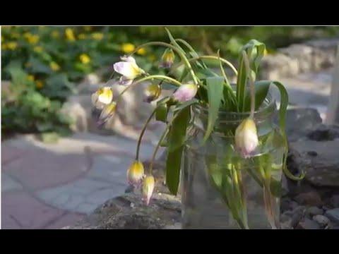 Лесные тюльпаны.  Посадка в цветнике лесных тюльпанов!