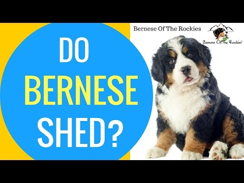 Do Bernese Mountain Dogs Shed Bernese Grooming Tips Youtube