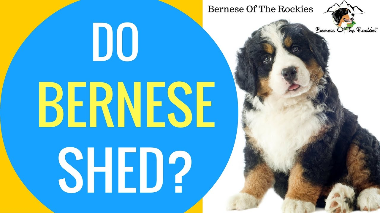 Do Bernese Mountain Dogs Shed Bernese Grooming Tips