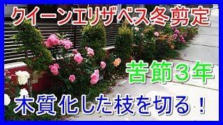 今回はバラの冬剪定を行います。 世界殿堂入りバラであるクイーンエリザ...