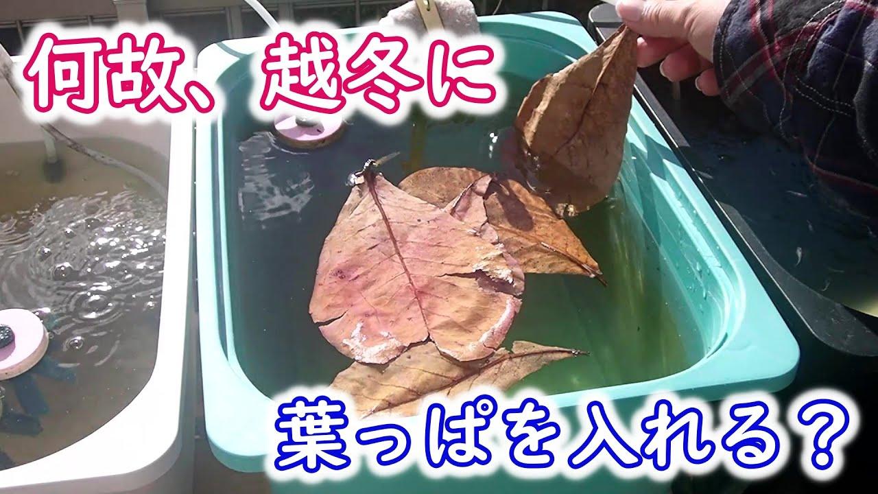 【めだか】越冬に柿の葉・マジックリーフを使ってみる!?
