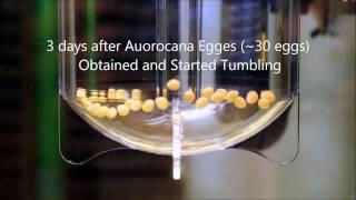 Aulonocara Hueseri Eggs Hatching with ZET-65 Ziss Egg Tumbler