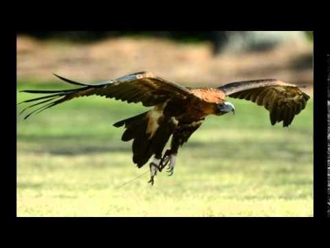 Австралийский клинохвостый орел