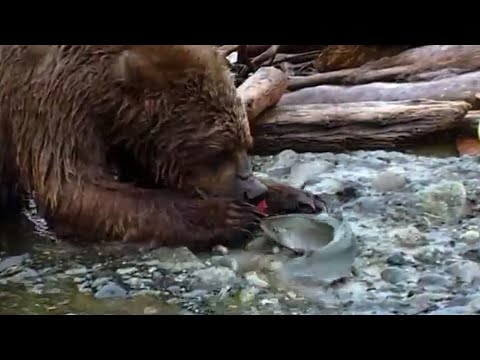 Teddy Bear's Fish Picnic | Bears | Spy in the Woods | BBC