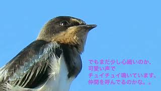 2017.9月 京都市 台風一過の早朝、電線に一羽のツバメの子供がとまって...