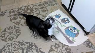 Parker wants a chewy! Funny dog talking!