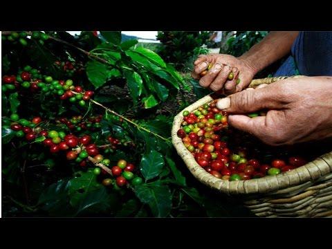Curso Colheita Mecanizada de Café - A Colheita do Café