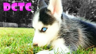 Siberian Husky Puppy Meets 8 Year Old German Shepherd Dog For The First Time DCTC Videos