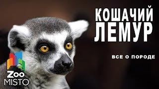 Кошачий лемур - Все о виде приматов | Примат вида - кошачий лемур