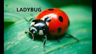 Ladybug for the Colecovision, Adam and Collectorvision Game Consoles