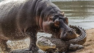 Hippopotamus Attacks An Alligator-Hungry Hungry Hippo