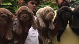 Top quality Neo Mastiff puppies