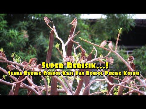 Suara Burung Bondol Kaji Dan Bondol Peking Koloni