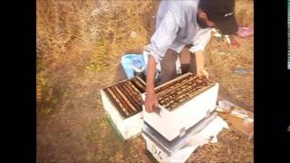 منحل بنصالح تربية النحل خطوة خطوة يقدم يوميات جني العسل الجزء الاول
