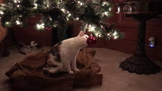 Funny Cat's First Experience With Christmas Tree Ornament