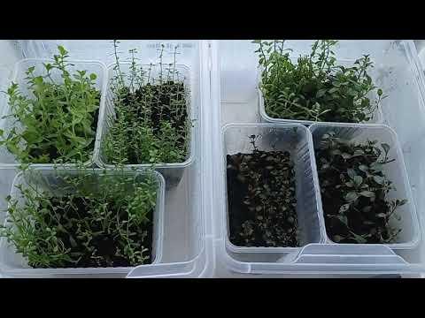 Мини теплички с аквариумными растениями. Бакопа, хедиотис зальцмана, людвигия, гигрофила розанервиг.